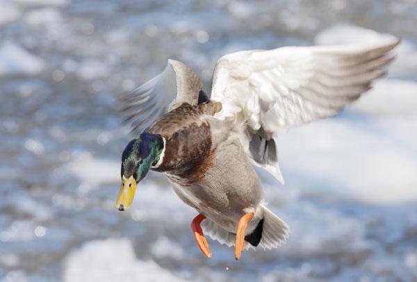 Duck pet food raw blend from Born Wild Raw Pet Food