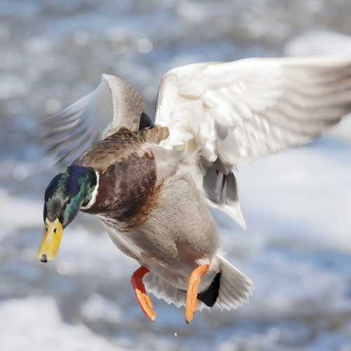 Duck raw pet food from Born Wild Raw